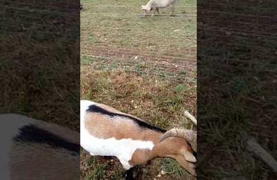 Vidéo du nourrissage des animaux de l'Association Protection Animale Charente de Ventouse