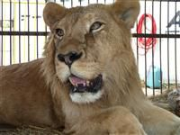 25 rescued lions by ADI