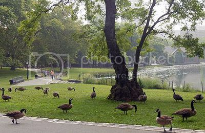 How to Keep Geese from Destroying Your Backyard