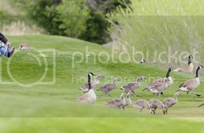 "Golf Course Manager's ""Goose Gets Cooked"" over Killing Geese"