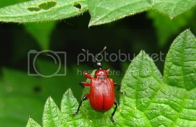 Insectes rouge.