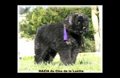 BOUVIER DES FLANDRES à vendre - quelle question se poser ?