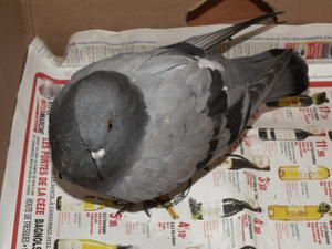 COCO LE PIGEON