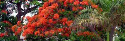 ANGOLA - Flamboyants et Cacimbo