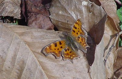 Photo Polygonia c-album papillon