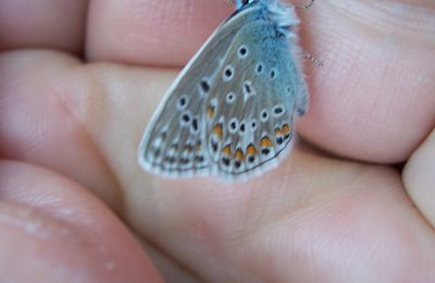 Photo Polyommatus icarus