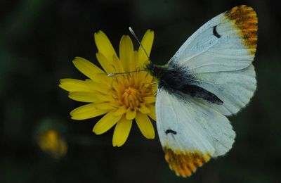 Papillon aurore - anthocaris cardamines