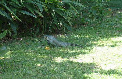 En Guyane, Jean Paul, un iguane comme les autres