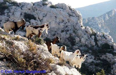Chèvres phocéennes