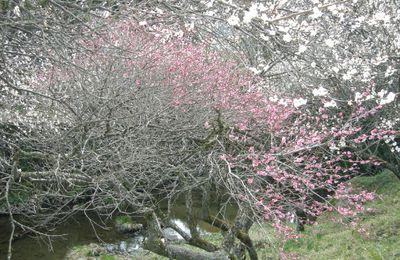 Il n'y a pas que les sakura,vive les pruniers du Japon (ume 1)
