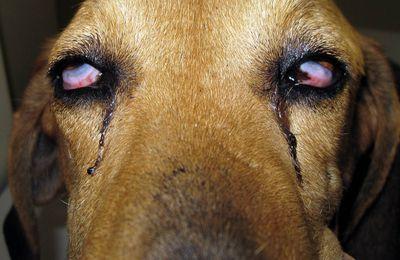 Syndrome de Claude Bernard Horner + mégaoesophage chez un chien