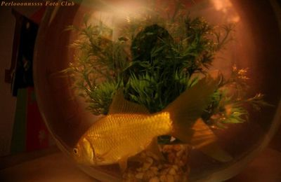 Mon poisson rouge / My goldenfish