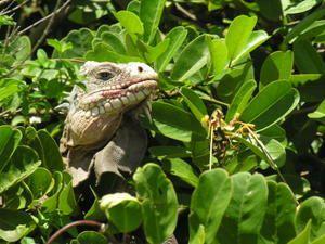 Amphibiens et Reptiles de la Guadeloupe