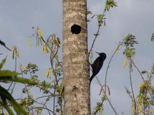 Photos de Pic de la Guadeloupe (Melanerpes herminieri)