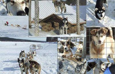Huskies, chiens de l'arctique