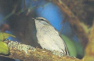 PROBST, J.M. 1998. L'Échenilleur de La Réunion ou Tuit-tuit Coracina newtoni. Bull. Phaethon, 8 : 89-90.