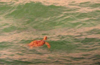 Champagne, A. ; TURPIN, A. & PROBST, J-M. 1997. Inventaire préliminaire des tortues marines, d'eau douce et de terre de La Réunion et des îles de l'Océan Indien. Bull. Phaethon, 6 : 65-67.