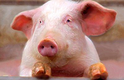 Contes pour enfants - Au Jardin des Tibous, il y a... des animaux de la ferme - Tête de cochon