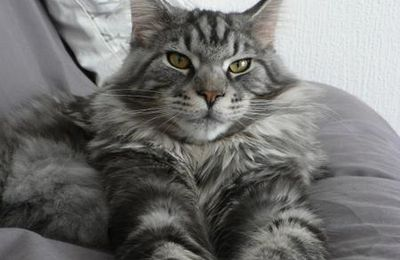 Une race : le Maine Coon