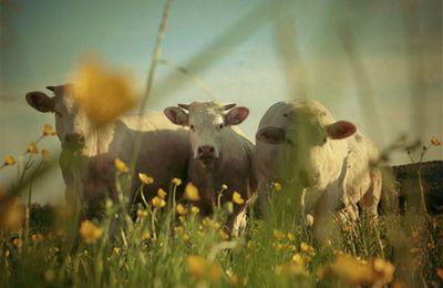 les vaches d'à côté