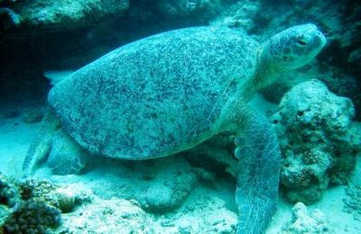 Les tortues marines de Mayotte