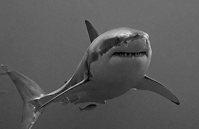 1 jour ... 1 requin : le Grand Requin Blanc (Carcharodon carcharias)