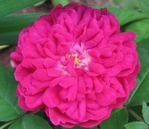 Petite rose, quel est ton nom ? (rosa 'Rose de Rescht' )