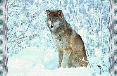...Le Dernier Loup !