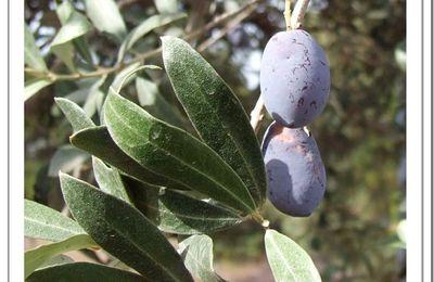 Mes olives après la pluie......