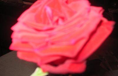Une belle rose rouge