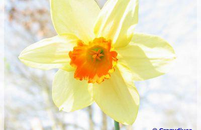 Recto Narcissus