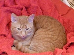 Chat roux trouvé et heureusement adopté à Saint-Josse !