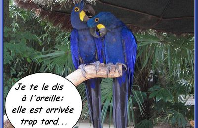 Aras bleus commères...