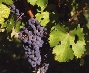 cabernet sauvignon : o melhor de Bordeaux...