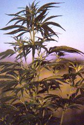 Dossiers divers sur le cannabis à Radio-Canada.com
