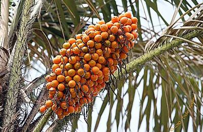 Awara fruit de tradition