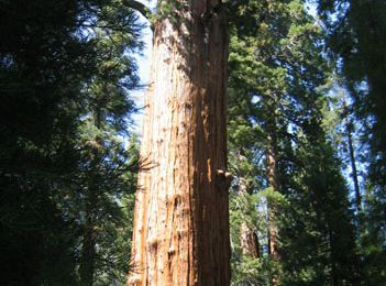 General Sherman (Arbre), le plus volumineux de la planète