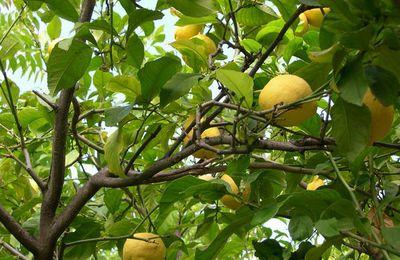 Plantes comestibles de Corse