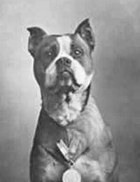 Sergent Stubby, Pitbull héro de la Première Guerre Mondiale.