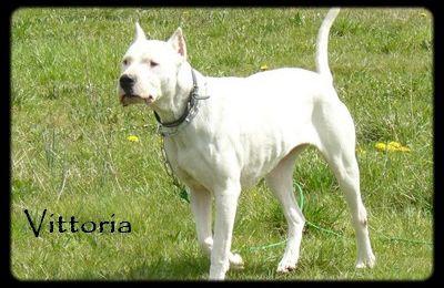 Vittoria, femelle type Dogue Argentin, 6 ans, cherche un foyer