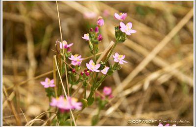 Petites fleurs des prés