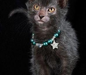 Le Lykoi... c'est quoi ? Mais un chat voyons !!!!