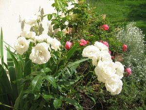 Dans mon jardin les rosiers Léonard de Vinci et Iceberg