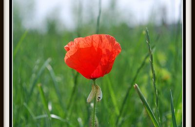 Comme un petit coquelicot°°°°