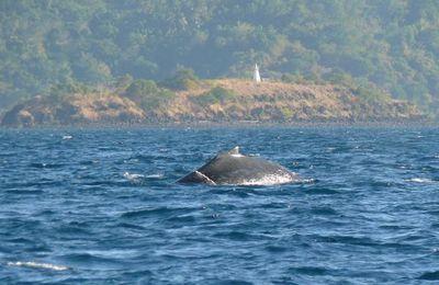 Les baleines à bosses sont de retour dans le lagon de Mayotte