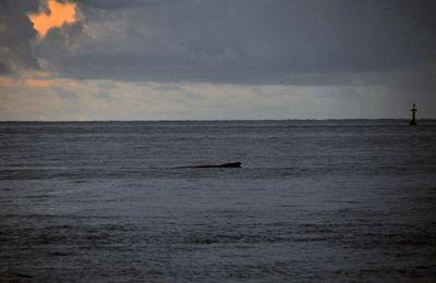 Les baleines à bosses (Megaptera novaeangliae)enfin à Mayotte !