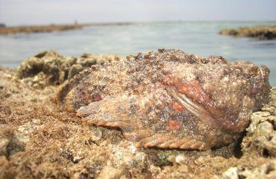 Poisson Pierre (Synancée) de l'océan Indien à Mayotte
