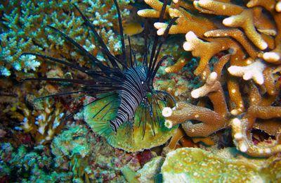 poisson rascasse noire de l'océan Indien à Mayotte