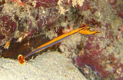 Syngnathe à bande bleue (Doryrhamphus excisus) de l'océan Indien à Mayotte