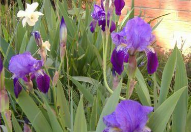 Les iris des Jardins